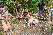 26 OCTOBER 2012 - PULASAIZ, NARATHIWAT, THAILAND: Men tie down a young bull before sacrificing it in God's name for Eid al-Adha in the villiage Pulasaiz, in the province of Narathiwat, Thailand. The sacrificed cow is butchered and divided into seven portions. The meat is shared with families of lesser means, widows and orphans. It is the one day of the year that some people in the community get to eat beef (In Muslim communities in Thailand, cows are usually sacrificed. In other Muslim countries it is often sheep.) Eid al-Adha, also called Feast of the Sacrifice, is an important religious holiday celebrated by Muslims worldwide to honor the willingness of the prophet Ibrahim (Abraham) to sacrifice his firstborn son Ishmael as an act of submission to God, and his son's acceptance of the sacrifice before God intervened to provide Abraham with a ram to sacrifice instead. In 2012 Eid al-Adha was celebrated Oct 25 - 26.     PHOTO BY JACK KURTZ