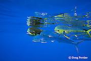 dorado, mahi-mahi, mahimahi, mahi mahi, or dolphin fish, Coryphaena hippurus, swimming in open ocean, off Kaiwi Point, Kona, Hawaii Island ( the Big Island ), U.S.A. ( Central Pacific Ocean )