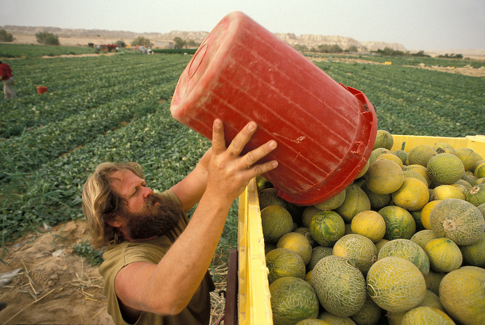 Israel, Moshav Neot Hakkikar, Farmer Momo Levinowitz harvests melons in fields just south of Dead Sea