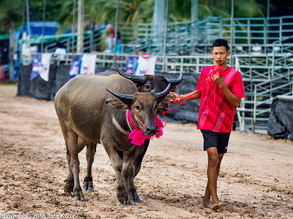 23 OCTOBER 2018 - CHONBURI, CHONBURI, THAILAND:  People bring their water buffalo to the races in Chonburi. Contestants race water buffalo about 100 meters down a muddy straight away. The buffalo races in Chonburi first took place in 1912 for Thai King Rama VI. Now the races have evolved into a festival that marks the end of Buddhist Lent and is held on the first full moon of the 11th lunar month (either October or November). Thousands of people come to Chonburi, about 90 minutes from Bangkok, for the races and carnival midway.   PHOTO BY JACK KURTZ