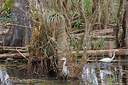Great Egret and Heron standing together in a swamp in the Florida Everglades, United States of America