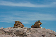 Male lions resting on  kopje (rock outcrop