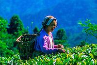 Woman picking tea leaves, Darjeeling, West Bengal, India