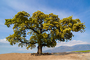 Quercus ithaburensis, the Mount Tabor oak, is a tree in the beech family. Photographed in the Galilee, Israel in March