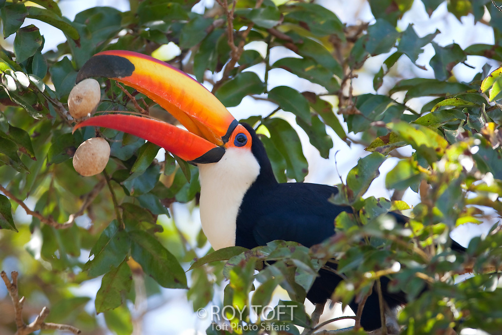 Toco Toucan eating Palm nuts, Pantanal, Brazil