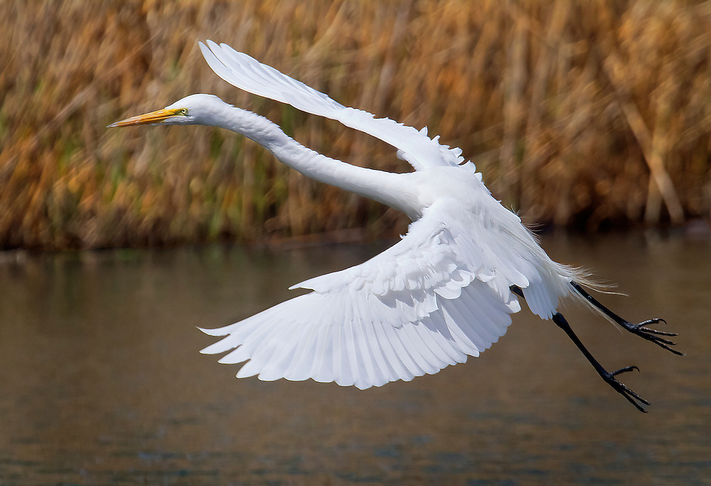 Barely had a second to catch this egret, which had just taken off from a tree branch.