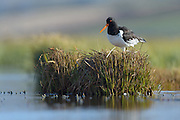 The Eurasian Oystercatcher Haematopus ostralegus, also known as the Common Pied Oystercatcher, or (in Europe) just Oystercatcher, is a wader in the oystercatcher bird family Haematopodidae.