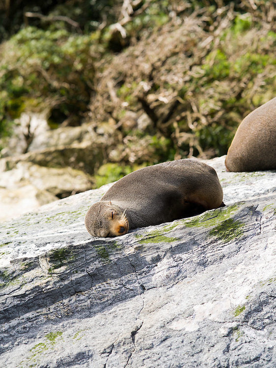 New Zealand Fur Seals (Arctocephalus forsteri) sleep on the rocks along Milford Sound (Piopiotahi), Fiordland National Park, New Zealand