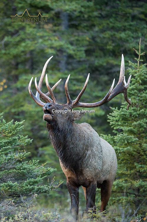 mature bull elk bugling from sparce fir forest close up