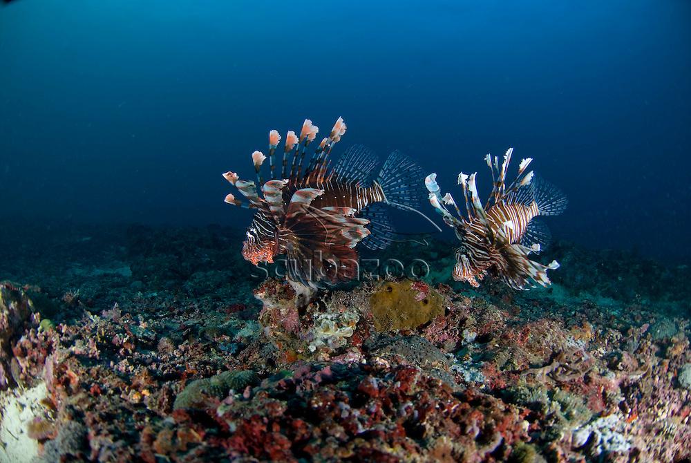 Pair of Lionfish, Pterois volitans, Great Ocean Adventures shoot, Malapascua Island, Cebu, Philippines.