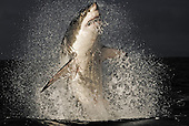 South Africa's Great White