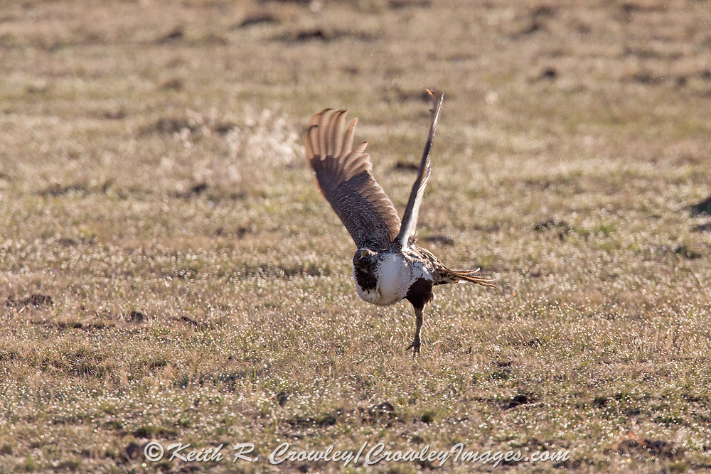 Greater Sage grouse in flight