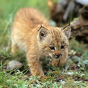 Canada Lynx, (Lynx canadensis) Montana. Kitten exploring area near den.  Summer. Captive Animal.