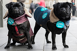 "© Licensed to London News Pictures. 06/04/2016. London, UK. A pair of pugs show their support as junior doctors hold an event outside King's Cross station for the public to ""meet the doctors"" as they stage the fourth strike against changes to contracts. Photo credit : Stephen Chung/LNP"