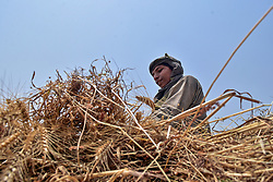April 29, 2019 - Punjab, Punjab, India - An Indian farmer seen harvesting  wheat at a field in Punjab..Harvesting of wheat has begun in India, one of the world's largest producers of the crop. Agriculture is the main livelihood of about 60 percent of India's 1.2 billion people. (Credit Image: © Saqib Majeed/SOPA Images via ZUMA Wire)