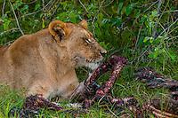 Female lion eating carcass of a wildebeest, Kwara Camp, Okavango Delta, Botswana.