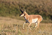 Buck Pronghorn in fall habitat.