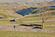 Ash tree and drystone walls typical of the White Peak, Derbyshire