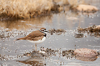 End of March in northern Utah has the killdeer returning for the summer and at this time preparation for nesting is at hand.