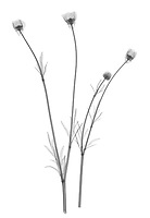 X-ray image of bulbous buttercup stalks (Ranunculus bulbosus, black on white) by Jim Wehtje, specialist in x-ray art and design images.