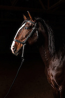 Profile portrait of Lusitano stallion in dark arena. Xerifino.