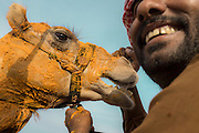 The winning camel gets its neck and head covered with saffron, as a sign of honor after completing the race near Abu Dhabi, UAE.