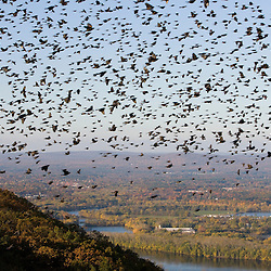 """The Oxbow"" and the Connecticut River as seen from the Skinner Mountain House in Hadley, Massachusetts.  Grackles fill the sky.  Skinner State Park.  Mount Holyoke. New England Trail"