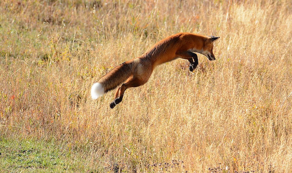 red fox jumping in air