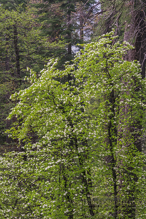 Dogwood blossoms in spring, Yosemite Valley, Yosemite National Park, California