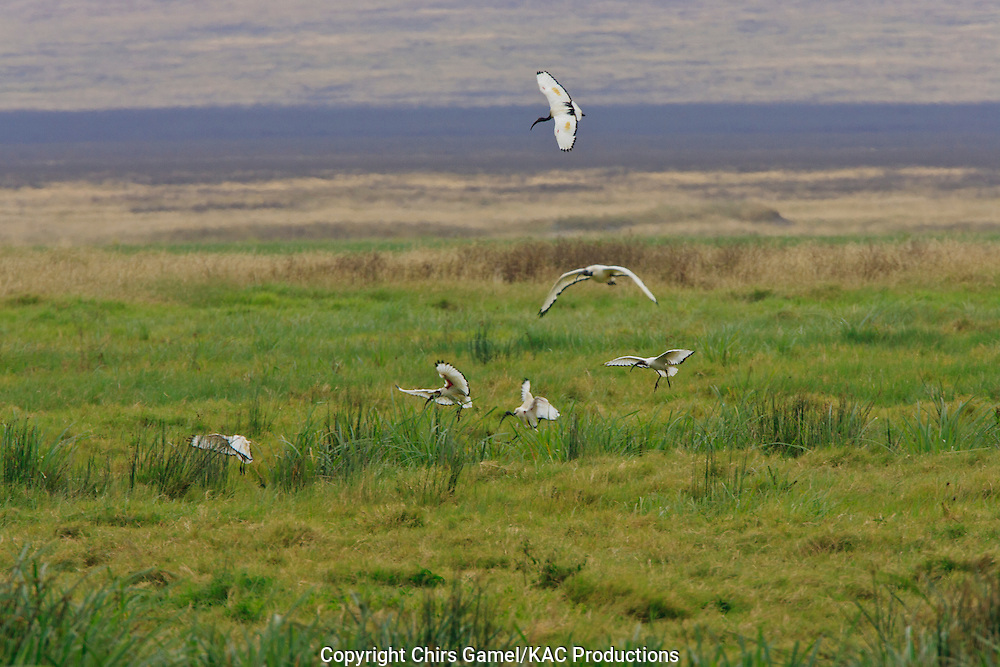 Flock of Sacred Ibis (Threskiornis aethiopicus) landing on the savanna, Ngorongoro Conservation Area, Tanzania, Africa, flying