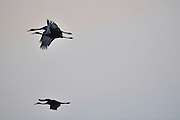 Sandhill crane family flying at dusk in Northern Ontario, Canada.