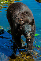 Black bears, Fortress of the Bear (bear sanctuary), Sitka, Alaska USA.