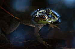 American Bullfrog (Rana catesbeiana), Wells State Park, Sturbridge, Massachusetts, US