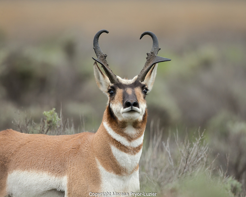 Pronghorn antelope buck showing territorial behavior, Antilocapra americana,  Grand Tetons NP, Wyoming