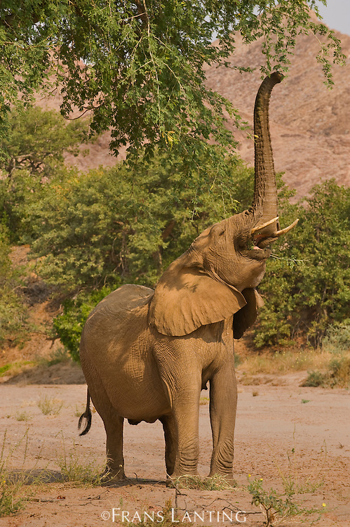 Desert elephant reaching for browse, Loxodonta africana, Huab River, Torra Conservancy, Damaraland, Namibia