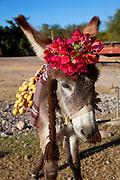 Donkey, Burro with flowers, Sinaloa, Mexico