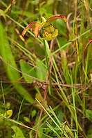 "Found only in North Carolina, South Carolina, Georgia, and Florida, the hooded pitcher plant is one of the smaller of our native pitcher plants found at the edges of bogs and wet pinelands. Like all carnivorous plants, nectar glands inside the ""hood"" attract insects where a series of hairs inside the pitcher (a modified leaf) encourages the insect downward into the tube until it cannot turn around and escape. These insects will in turn be dissolved and deliver the essential nutrients that are needed in such a plant that grows in such nutrient-poor soils. This is the blossoming flower that is ironically also pollinated by flying insects. This one was found and photographed during the summer rains in the Osceola National Forest in North Florida."
