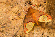 Moth<br /> Peru: Departamento de Madre de Dios Co.<br /> Refugio Amazonas on the Tambopata River<br /> 30-Jul-2016<br /> J.C. Abbott #2857 &amp; K.K. Abbott