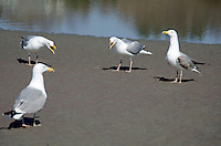 Herring Gulls (Larus argentatus) squawking on the beach.