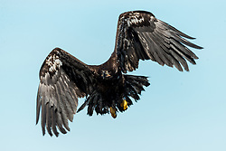 A Bald Eagle Release is set and will happen in Sauk Prairie at VFW Park, Sunday 2-19-17 at 1 p.m.<br /> One is an adult, one is 4-5 yrs old so is nearly fully mature, one is a two year old and 2-3 will be immature birds that were hatched in the spring of 2016.<br /> One has a fascinating case and has been in the news. He is the eaglet from Bass Lake near Tomahawk that was hit with a bottle rocket that was thrown into his nest. He suffered serious burns to his face and damage to his beak. He is now ready to be released to the wild. The Lemke family (Jean Lemke) that found this eaglet were on hand to bid him well and see him released to he wild. <br /> Raptor Education Group Inc., executive director Marge Gibson and crew released rehabilitated eagles, Sunday, Feb. 19, 2017  at Sauk Prairie at VFW Park in Prairie Du Sac.