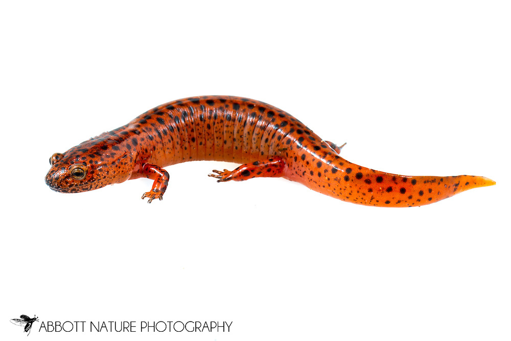 (Northern) red salamander (Pseudotriton ruber ruber)<br /> ALABAMA: Tuscaloosa Co.<br /> Tulip Tree Springs off Echola Rd.; Elrod<br /> 4-May-2016<br /> J.C. Abbott #2808 &amp; K.K. Abbott