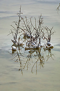 Israel, Dead Sea salt formation caused by the evaporation of the water clinking to dead bushes