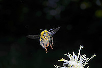 Bumblebee in Fligth, high speed photographic technique, Nikon D800E, Stop Shot, Micro Nikkor 60mm at  f16, ISO 100, Manual Flash