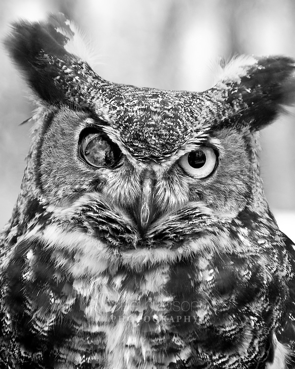 Andre, a magnificent male Great Horned Owl, has lost all vision in his right eye.