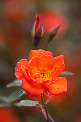 Rosa Warm Welcome syn. R. 'Chewizz' AGM