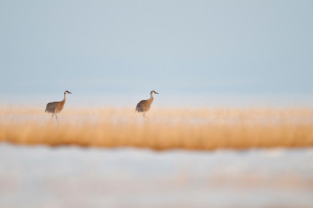Sandhill Cranes, Grus canadensis, early spring, Yukon Delta NWR, Alaska