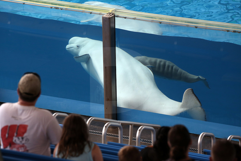 SeaWorld San Antonio's brand new 120-pound arrival, a female beluga whale calf born less than 12 hours before this picture was taken (Saturday, June 20th, 2015 @ 12:44 AM).<br />
