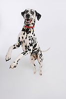 Dalmatian standing on hind legs elevated view