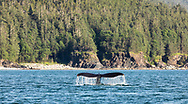 Humpback Whale (Megaptera novaeangliae) diving in Favorite Channel in Southeast Alaska. Summer. Evening.