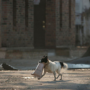 Dog carries an MRE ration through the streets of the Lower 9th Ward during the Hurricane Katrina aftermath in New Orleans.<br />